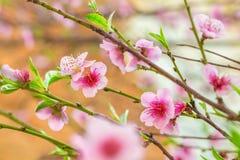 在桃树分支的桃红色花 免版税库存图片