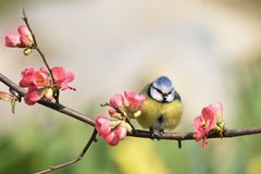 在桃树栖息的青山雀 库存照片