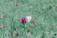 在桃红色三叶草的小白椰菜蝴蝶 库存照片