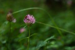 在桃红色三叶草的甲虫在庭院里 库存图片