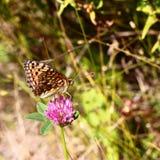 在桃红色三叶草的蝴蝶 库存照片