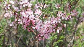 在桃红色中的失败蜜蜂飞行在一个庭院里在春天开花,授粉花 股票录像