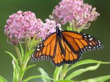 在桃红色乳草花的黑脉金斑蝶 免版税库存照片