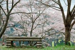 在桃红色佐仓下的一个空的长木凳在Miyasumi公园,冈山,日本开花在绿色象草的小山的樱桃树 免版税库存照片