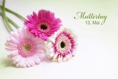 在桃红色和白色的三朵大丁草花在明亮的背景w 免版税库存图片