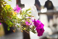 在桃红色和白花的特写镜头与日出 库存图片