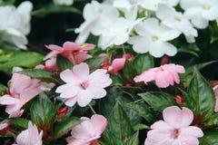 在桃红色和白花的雨珠 免版税库存照片