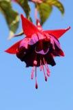 在桃红色和紫罗兰色的双色的花与一个长的雄芯花蕊 免版税图库摄影
