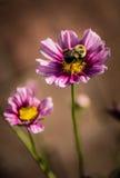 在桃红色和紫色百日菊属的土蜂 库存图片