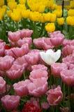 在桃红色和黄色郁金香中的卓著的白色郁金香 库存图片