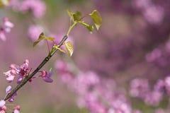 在桃红色开花中的新的叶子新芽在东部Redbud树 免版税库存图片