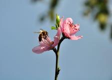 在桃红色开花的一只蜂 免版税库存照片