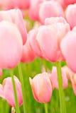 在桃红色开花的许多郁金香 库存图片