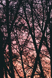 在桃红色日落的树背景 图库摄影