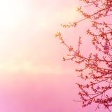 在桃红色日落的苹果树开花 免版税库存图片