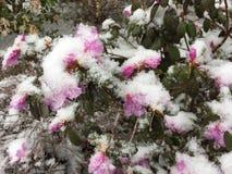 在桃红色杜娟花灌木的春天雪 免版税库存图片