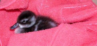 在桃红色毛巾的逗人喜爱的埃及鹅小鸡 库存照片