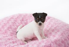 在桃红色毯子的小狗 免版税库存照片