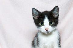 在桃红色毯子的黑白平纹小猫 免版税库存照片