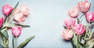 在桃红色淡色的美丽的郁金香在浅兰的背景,顶视图,框架,边界 可爱看板卡的问候 免版税图库摄影