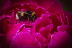 在桃红色牡丹的一只普通的土蜂在绿色背景 免版税库存图片