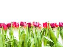 在桃红色玫瑰和紫色郁金香的行 库存照片