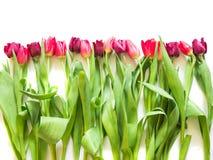 在桃红色玫瑰和紫色郁金香的行 图库摄影
