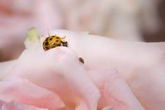 在桃红色玫瑰的橙色瓢虫在庭院 免版税库存照片