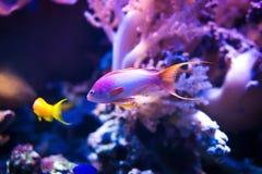 在桃红色珊瑚背景的两条海goldie鱼游泳 库存照片