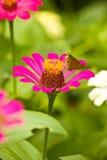 在桃红色百日菊属的一只小的蝴蝶 库存图片