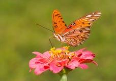 在桃红色百日菊属的美丽的海湾贝母蝴蝶 免版税库存照片