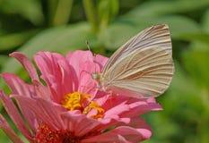 在桃红色百日菊属花的白色蝴蝶 库存图片