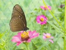 在桃红色百日菊属花的蝴蝶 免版税库存图片