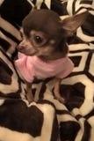 在桃红色的奇瓦瓦狗 免版税库存图片