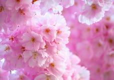 在桃红色的开花 免版税库存照片