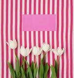 在桃红色的新鲜的白色郁金香 库存图片