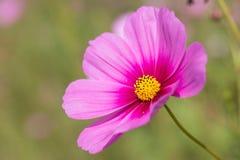 在桃红色的波斯菊花 库存图片