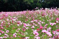 在桃红色的波斯菊花 免版税图库摄影