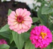 在桃红色的百日菊属` s 库存图片