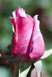 在桃红色的秀丽上升了 库存图片