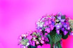 在桃红色的精美桃红色Lacecap八仙花属 免版税库存照片