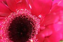 在桃红色的花卉秀丽 免版税库存照片