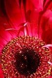 在桃红色的花卉秀丽 库存照片