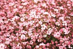 在桃红色的花背景 库存图片