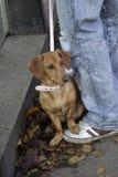 在桃红色的达克斯猎犬与在所有者脚的爪子 免版税库存图片