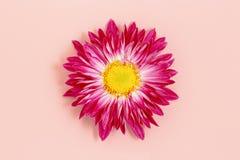 在桃红色的雏菊 免版税库存照片