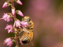 在桃红色石南花的边的宏观黄蜂 免版税库存照片