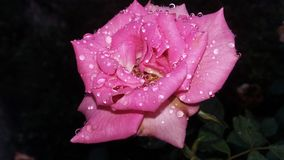 在桃红色罗斯的雨珠有黑暗的背景 免版税图库摄影