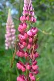 在桃红色羽扇豆的两只蜻蜓 免版税库存图片