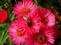 在桃红色翠菊的蜂在庭院里 图库摄影